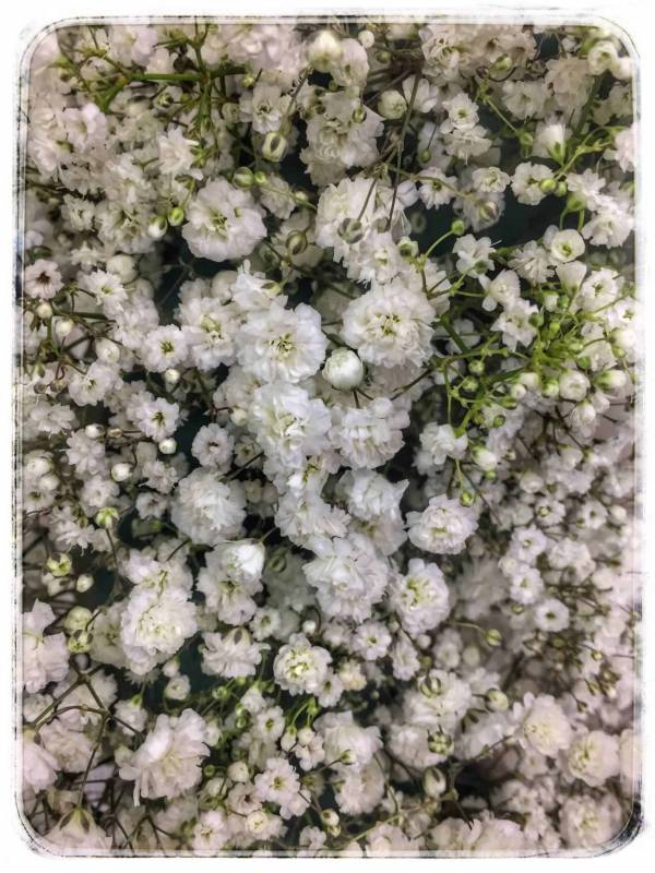 Baby's Breath Large Flower Image
