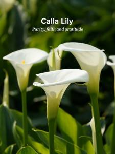 Calla Lilies Are Considered A Luxury